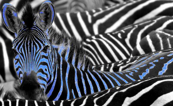 Zebre Indigo